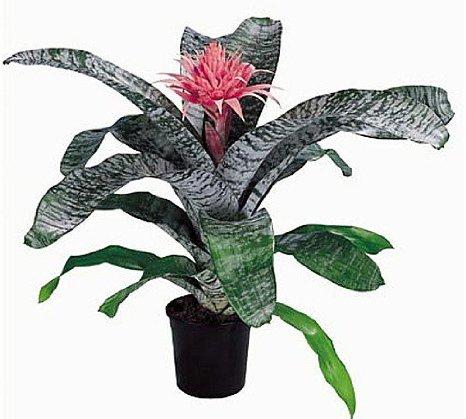 AECHMEA PRIMERA - Jardins de Morne Etoile Martinique