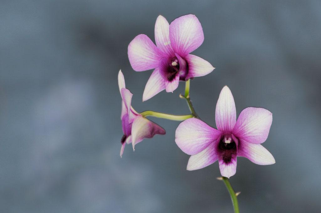 Dendrobium - Jardins de Morne Etoile Martinique