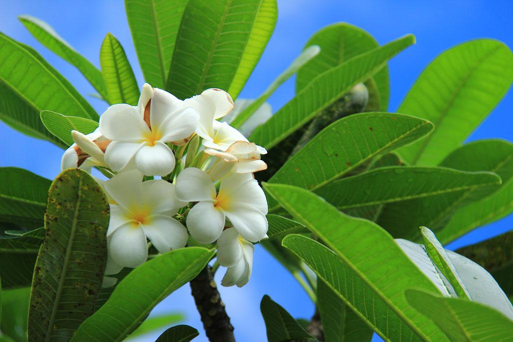 FRANGIPANIER - Jardins de Morne Etoile Martinique