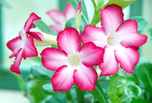 Rose du désert - Jardins de Morne Etoile Martinique