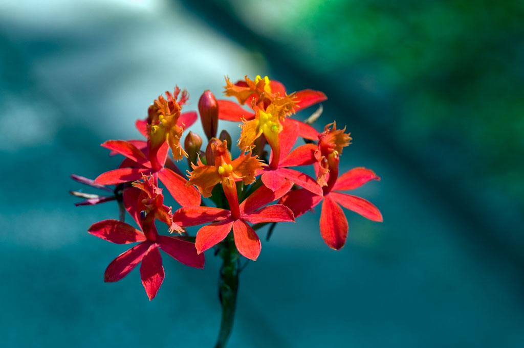 EPIDENDRUM - Jardins de Morne Etoile Martinique